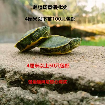 Living turtle Living turtle small Brazil color turtle pet turtle
