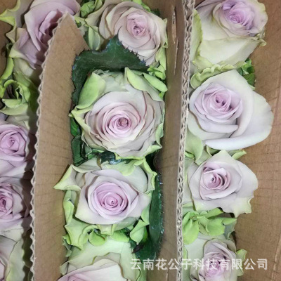 Kunming rose base wholesale yunnan light purple roses wholesale 20 fresh cut flowers/bundle