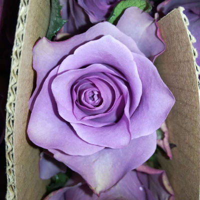(2) purple xia xianzi wholesale yunnan kunming purple roses 20 branches/bound