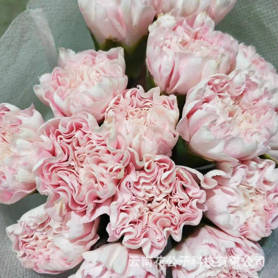 Kunming wholesale single head carnation base mother's day fresh cut flowers wholesale 20 branches/ bundles