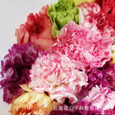 【 special price 】 yunnan kunming base carnation flower wholesale colorful single head carnation fresh cut flowers