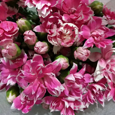 Multi head carnation wholesale carnation wholesale