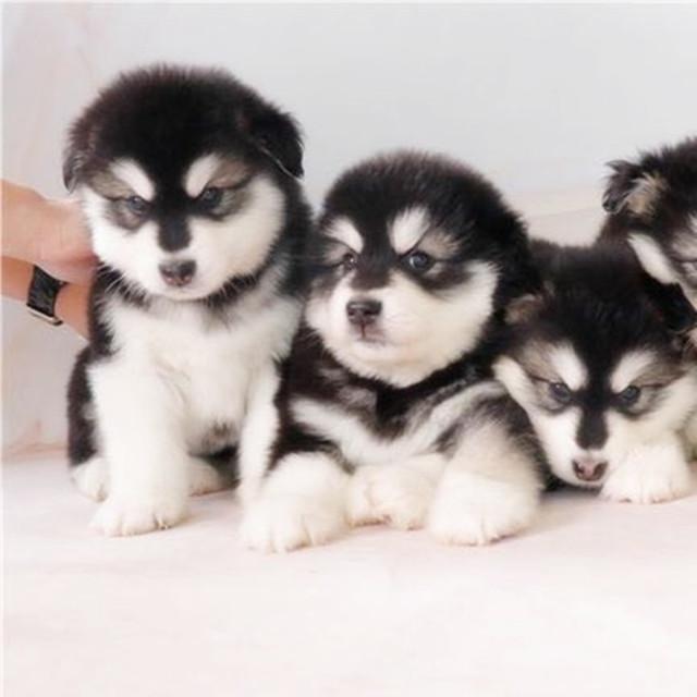 纯血统巨型阿拉斯加犬 阿拉幼犬出售 家养活体宠物狗狗