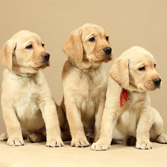 拉布拉多犬幼犬 纯种拉布拉多犬幼犬 拉布拉多犬幼犬 活体宠物犬