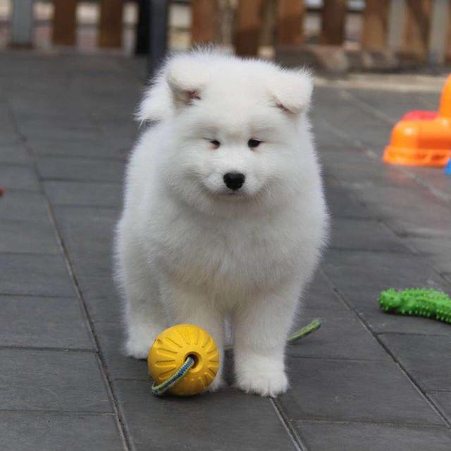 萨摩耶犬 萨摩耶幼犬 微笑天使幼犬 小型家庭宠物狗 纯白活体