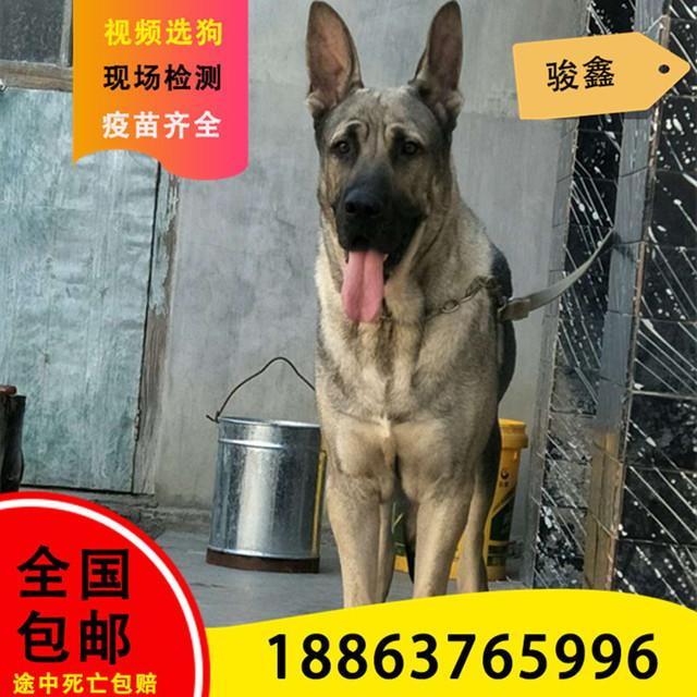 纯种狼青犬幼犬活体血统犬大型犬宠物犬看家护院犬中华狼青犬