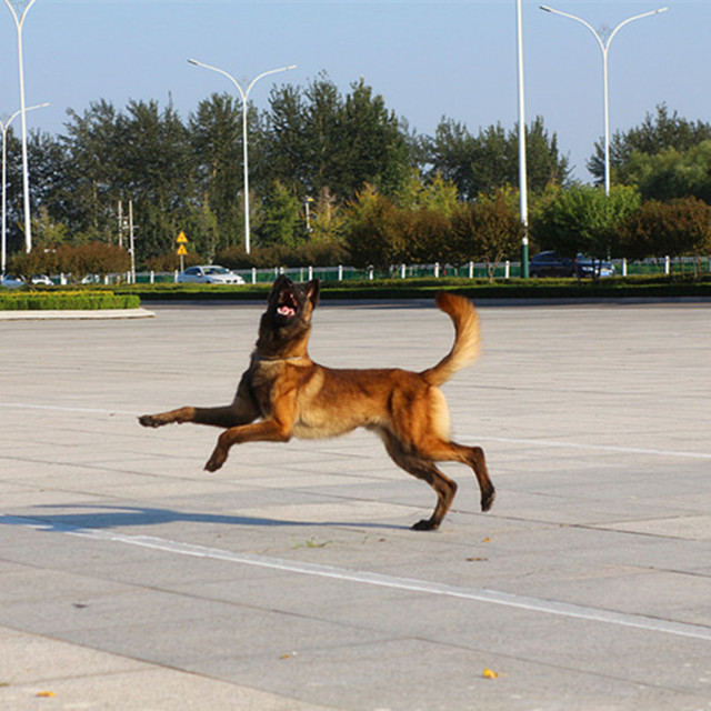 常年出售马犬幼犬 马犬养殖繁育中心爆红马犬 全国包邮