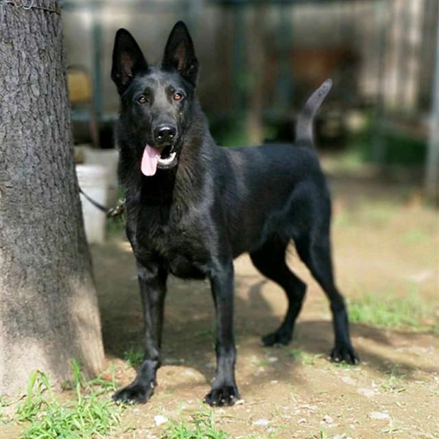 25斤左右3个月的纯种德国黑背牧羊犬幼犬价格|出售东德牧羊犬