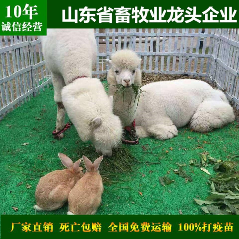 Pet alpaca pet alpaca wholesale pet alpaca price shandong leading animal husbandry enterprises national cities free mail train air transport casualties guaranteed compensation