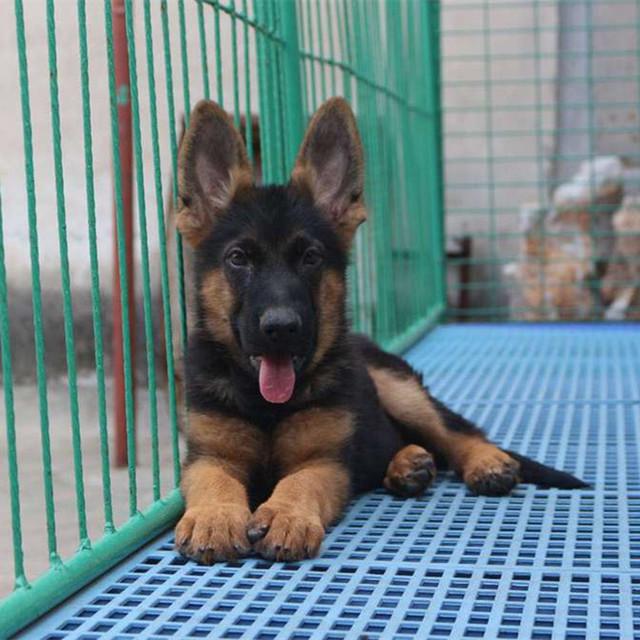 出售纯种德国牧羊犬幼犬 德牧狼犬黑背德国牧羊犬纯种幼犬活体